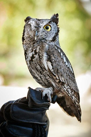 Odin the Owl