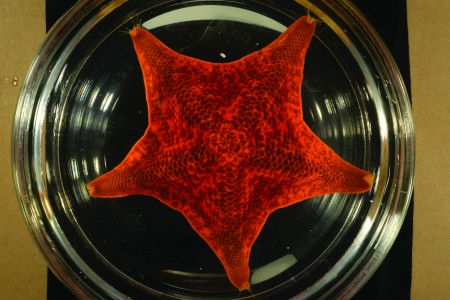 broad-disk star in specimen tray