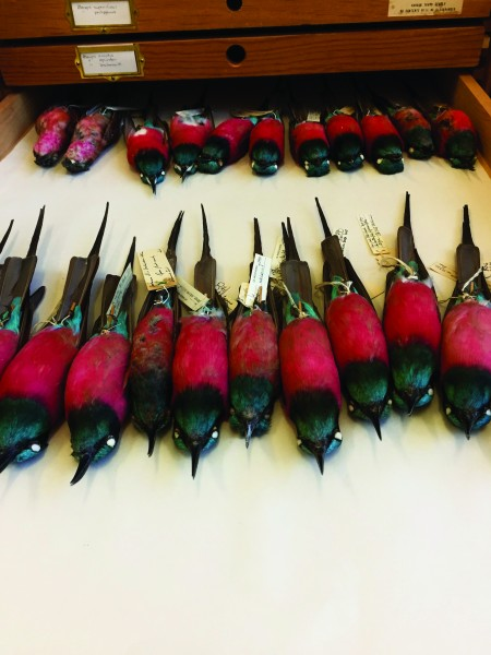 Carmine bee-eaters from NHM's bird collections