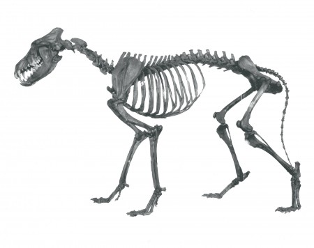 Articulated skeleton of a Dire wolf in profile