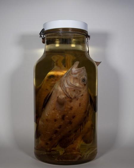 giant sea bass fish endangered