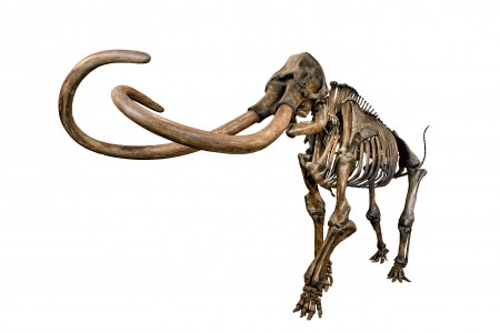 Articulated skeleton of a Columbian Mammoth