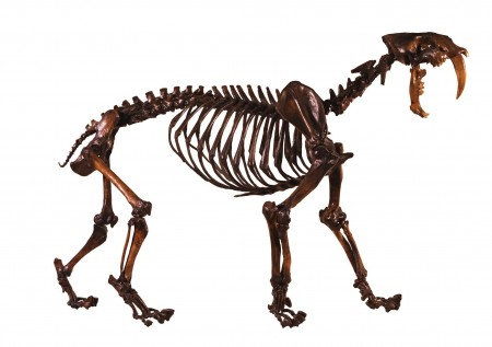 saber-tooth cat skeleton